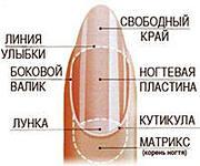 Строение ногтей